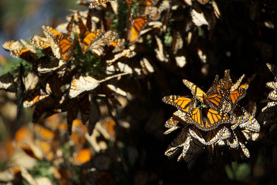 Descubren nuevo santuario de mariposa monarca en Michoacán - El Heraldo de Saltillo